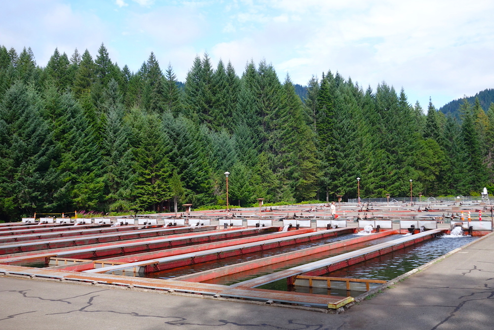 Marion Forks Fish Hatchery picnic and camping- Central Oregon Road Trip Stops